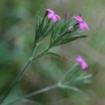 Dianthus armeria, knippnejlika - Askum, Håle